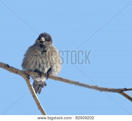 Disheveled sparrow on a background of blue sky