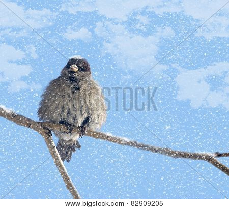 Disheveled sparrow and snow