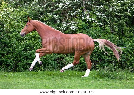 chesnut horse