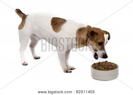 Young Male Jack Russell Eats Mixed Dry Dog Food From A Bowl