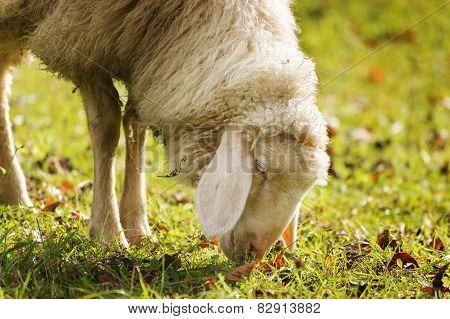 Grazing Sheep In Autumn