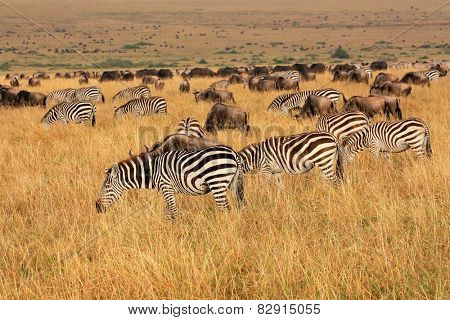Plains zebras and blue wildebeest grazing in grassland, Masai Mara National Reserve, Kenya