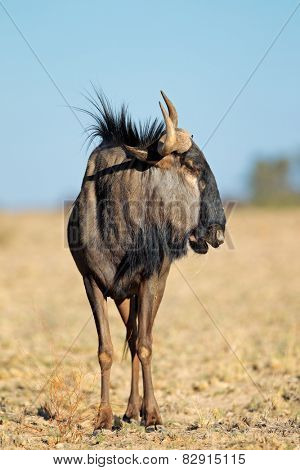 A blue wildebeest (Connochaetes taurinus) in natural habitat, Kalahari desert, South Africa