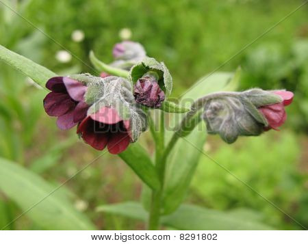 Lungwort obscure, or dark (Pulmonaria obscura)
