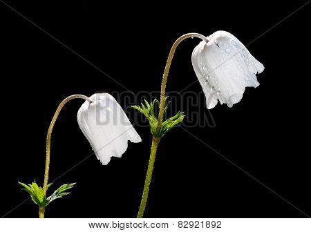 White Anemone Coronaria Flowers