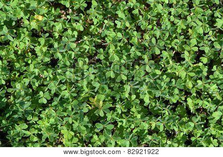 Green Flora Clover Plant Background