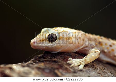 Pink Spotted Wall Lizard