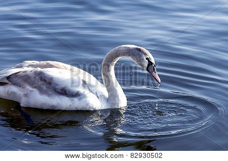 Young Swan On The River