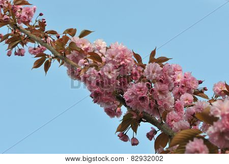 Long Branch With Pink Cherry Blossoms
