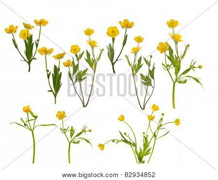 set of yellow buttercup flowers isolated on white background