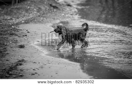 Monochrome Photo Of Active Spaniel Carrying Stick On Sand Beach