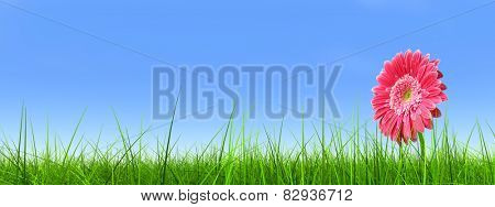 Concept or conceptual green fresh summer or spring grass field and a flower over a blue sky background banner