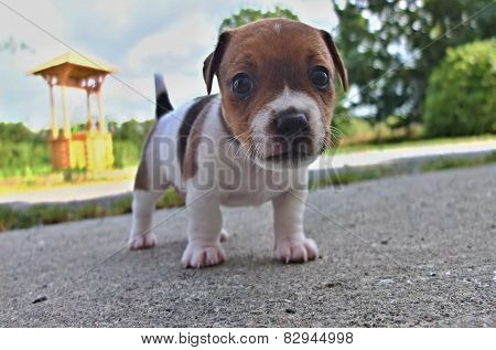 Puppies Of Jack Russell Terrier