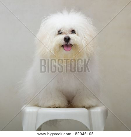 Shih Tzu Puppy Breed Tiny Dog On The Chair