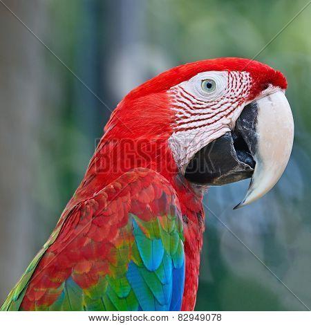 Greenwinged Macaw