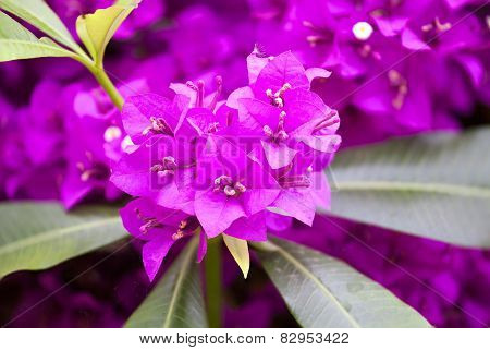 Pink Bougainvillea Flowers In Nature