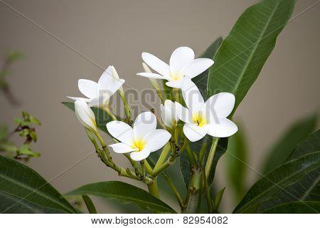 White Frangipani Flowers On Blanch