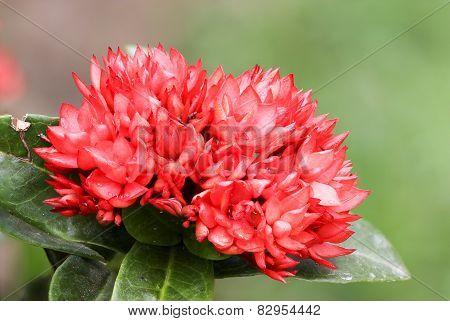 Close Up Red Ixoras