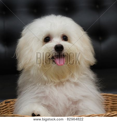 Shih Tzu Puppy Breed Tiny Dog , Age 6 Month, Playfulness, Loveli