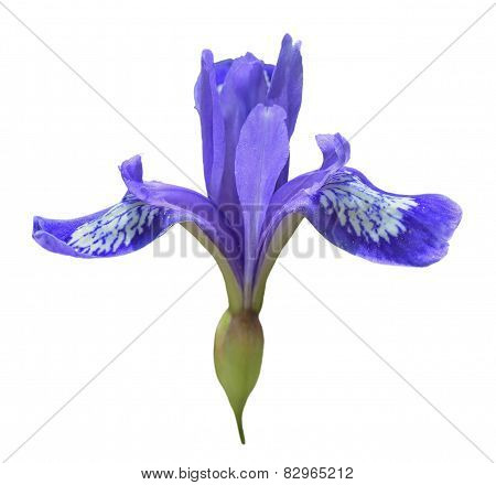 Flower Of Iris (iris Uniflora)