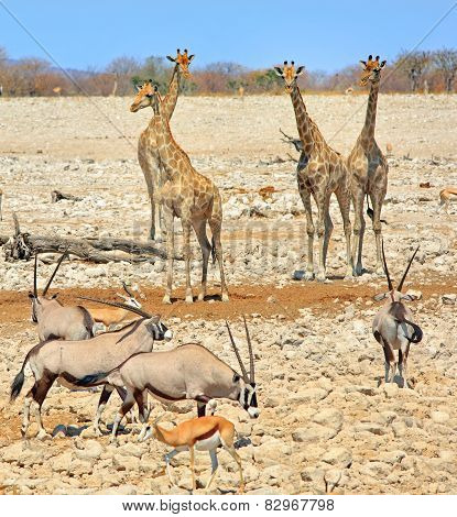 Giraffes and Gemsbok Oryx in Etosha