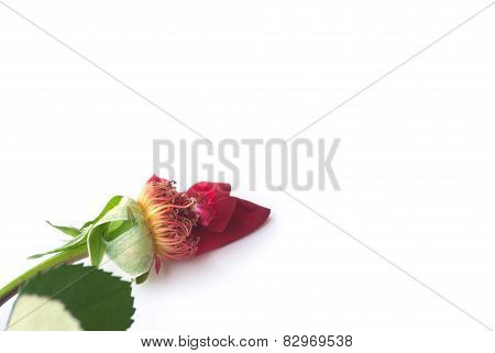 Withered Rose On White Background
