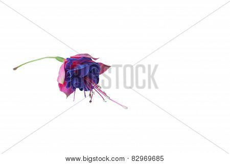 Colorfull Fuchsia Flowers, Flowers For Valentine's Day ( On White Background).