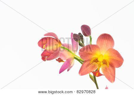 Red Orange Ground Orchids