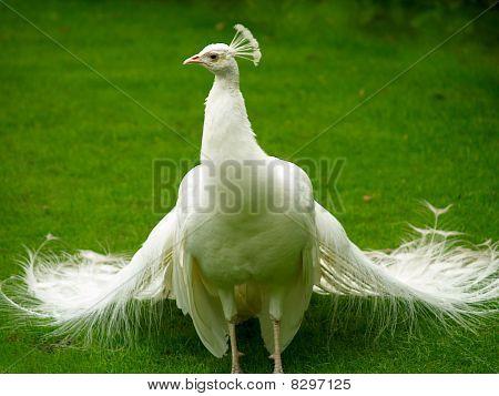 Unusual White Peacock