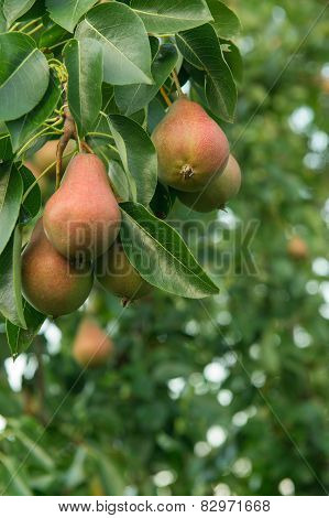 Ripe Pears On Pear Tree