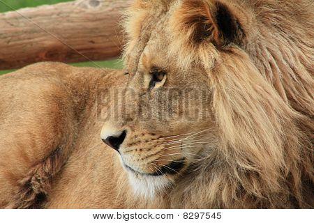 Leones en el zoológico