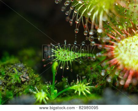little Drosera aliciae and it's motherplant