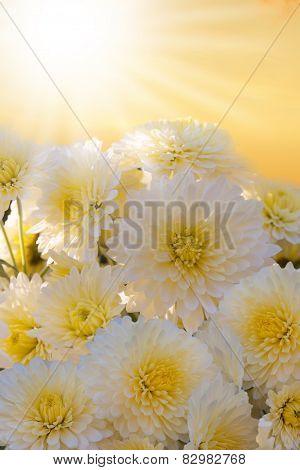White Autumnal Chrysanthemum Background