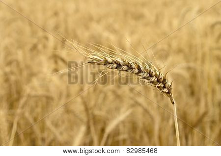 Ripened Wheat Spikelet