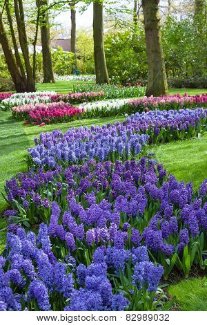 Blue and Purple Hyacinth Flowers at Spring Garden Keukenhof