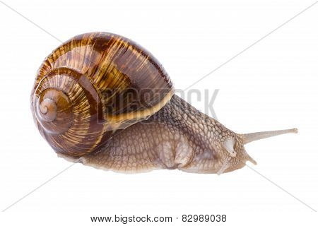 Snail in close up