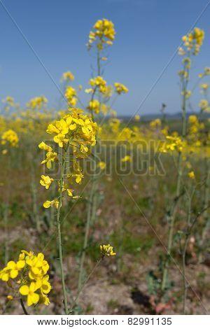 Rapeseed Blooms