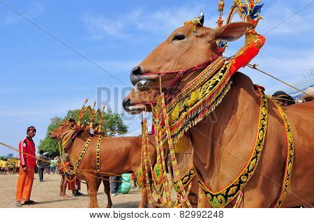 Decorated Bulls at Madura Bull Race, Indonesia