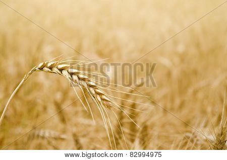 Golden Wheat Spikelet