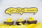 stock photo of feathers  - Three Sitting Easter Chicks In Easter Baskets Or Nest With Yellow Feathers On White Wooden Background With Feathers With Comic Speech Balloon Telling A Easter Joke For Happy Easter Greetings Or Easter Decoration - JPG