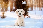 stock photo of golden retriever puppy  - Winter walk at snowing park of golden retriever puppy - JPG