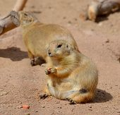 picture of tail  - Prairie dogs  - JPG