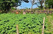 picture of molly  - Irish potato garden at Molly - JPG