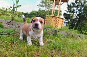 pic of jack russell terrier  - Puppy of Jack Russell Terrier is playing in garden - JPG
