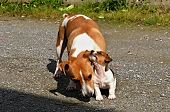 foto of jack russell terrier  - Puppy Jack Russel Terrier is playing with mom - JPG