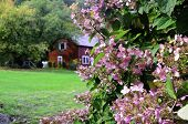 stock photo of lilac bush  - A lilac bush in a rural setting with a red barn - JPG