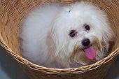 picture of dog breed shih-tzu  - Shih tzu puppy breed tiny dog in basket - JPG