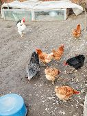 pic of poultry  - chicken flock on poultry yard in spring day - JPG