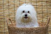 pic of dog breed shih-tzu  - Shih tzu puppy breed tiny dog in basket with japan mat background - JPG