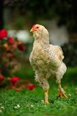 foto of cockerels  - A mottled chicken  - JPG
